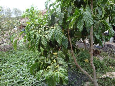 Rễ cây nhàu - Noni