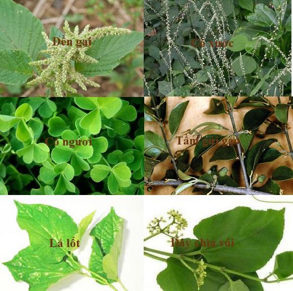 Các vị thuốc hỗ trợ điều trị thoát vị đĩa đệm. Dền gai, cỏ xước, tầm gửi gạo, cỏ ngươi, lá lốt, dây chìa vôi.