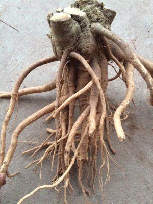 Rễ cây đinh lăng