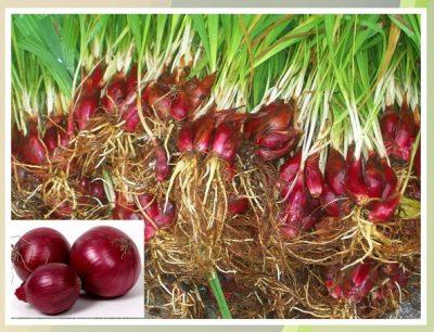 Cái tên sâm đại hành là do củ của vị thuốc rất giống với củ tỏi đỏ, người dân thường dùng củ để làm thuốc bồi bổ cơ thể nên được gọi là sâm