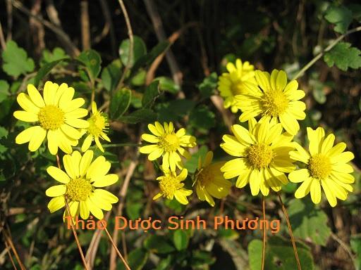hoa cúc vàng - thảo dược sinh phương