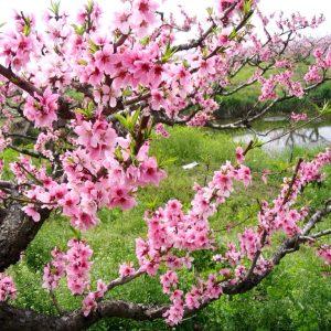 Hoa Đào Mộc Châu Vị Thuốc Quý Của Mùa Xuân