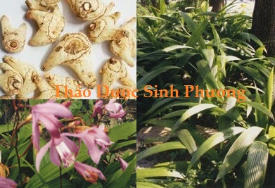 Hoa, lá, củ cây bạch cập