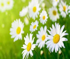 Cúc trắng là loài hoa thần dược trị các chứng nhiệt độc