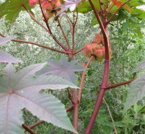 Rễ dùng chữa phong thấp đau nhức khớp, đòn ngã sưng đau