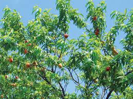 Đào là cây ăn quả được trồng nhiều ở nước ta