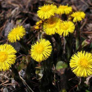 Khoản đông hoa điều trị hen suyễn