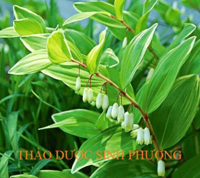 Cây Hoàng Tinh