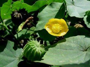 Cây cối xay có tác dụng tán phong, thanh nhiệt, giải độc
