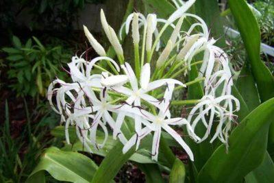 Cây náng hoa trắng có tác dụng chống viêm mạn rất tốt