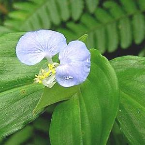 Cây cỏ chân vịt dùng ngoài trị viêm mủ da, giải độc do rắn, rết cắn, côn trùng đốt.