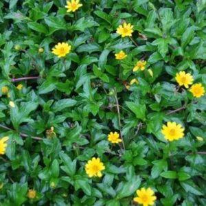 Cây sài đất được dùng chữa cảm mạo, sốt, viêm họng