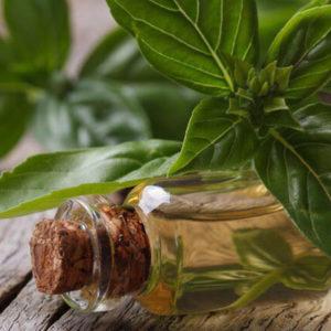 Tinh dầu húng quế cũng như húng quế chữa được nhiều bệnh.