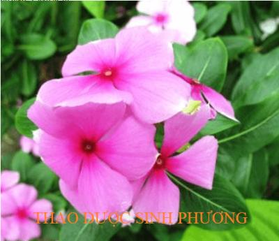 Trà Lá Dừa Cạn