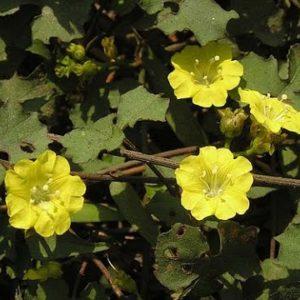 Ké hoa vàng chữa lỵ, viêm ruột lỵ