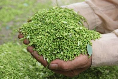 Hoa hòe còn có tác dụng kháng khuẩn và chống viêm