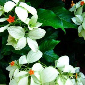 Cây bướm bạc thường dùng trị cảm mạo, ho, bạch đới, tê thấp, sổ mũi, say nắng, viêm khí quản
