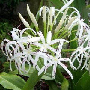 Hoa náng có tác dụng chống viêm mạn rất tốt