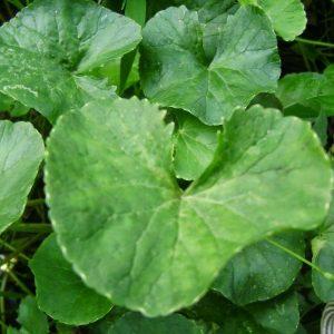 Cao rau má là vị thuốc làm lành vết thương và rất tốt cho da
