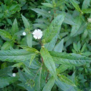 Cây cỏ mực điều trị chứng thận âm hư, người gầy yếu...