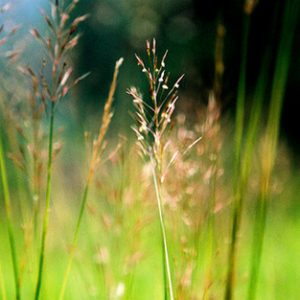 Cây cỏ may chữa da vàng, mắt vàng, bệnh về gan