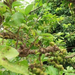 Tầm gửi cây ngái trị chứng phong thấp, nhức mỏi, sưng khớp