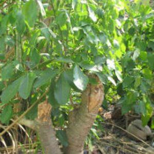 Dùng để trị nọc độc của các loại rắn, hỗ trợ điều trị viêm xoang, u bướu.