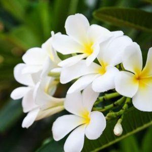 Hoa sứ dùng để chữa tiêu đờm, trừ ho, hạ áp