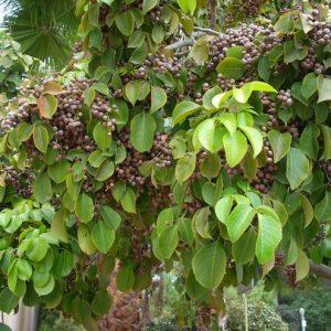 Cây cơm nguội hay còn gọi là cây nhội