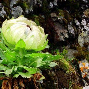Hoa tuyết liên tăng cường đề kháng, chống ung thư, bệnh cao huyết áp.