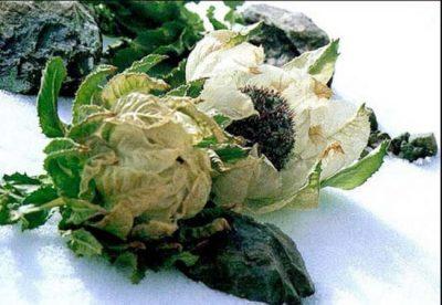 Hoa tuyết liên chữa viêm và thấp khớp, giải độc, bế kinh, trị các bệnh liên quan đến phổi