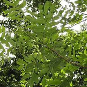Được trồng làm cây cảnh, cây bóng mát trong công viên hay ở ven đường phố