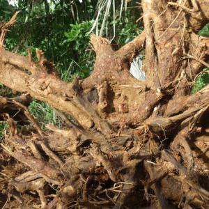 Cây xá xị giảm sưng và loại chất độc hại muỗi, côn trùng đốt