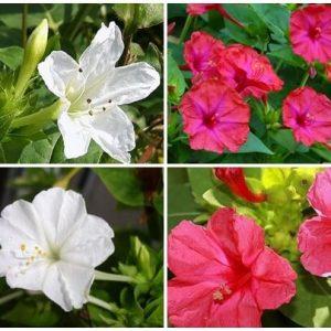 Hoa phấn tiêu viêm, lợi tiểu, chữa lở loét, mụn vảy nhỏ.