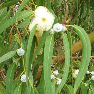 Bạch đàn xanh có tác dụng sát trùng, diệt muỗi, trị tiêu chảy.