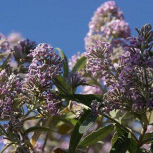 Mật mông hoa có tác dụng nhuận gan, sáng mắt, tan màng mộng, chữa thong manh.
