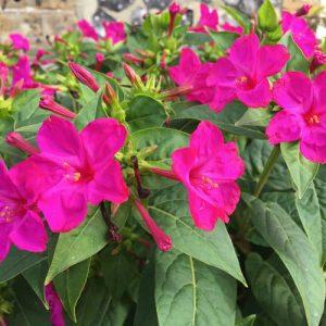 Hoa phấn chữa viêm tuyến tiền liệt, cảm nhiễm hệ tiết niệu.