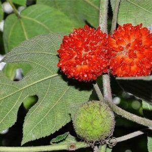 cây dướng có tác dụng trị tả, cầm máu, làm thuốc nhuận