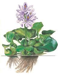 Bèo tây có tác dụng dụng an thần, lợi tiểu, giải độc, trừ phong nhiệt.