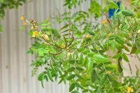Vọng giang nam tiêu viêm, giải độc, chữa táo bón và ăn không tiêu.