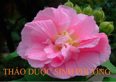 Phù Dung