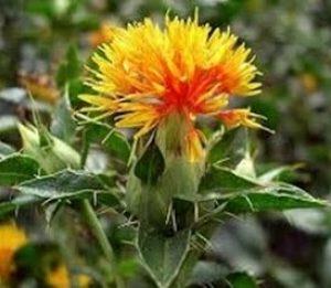 Hồng lam hoa chữa cổ họng sưng tắt nghẹt và loét thành tá tràng.