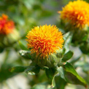 Hồng lam hoa điều trị các chứng đau, đậu mùa, đậu đinh và đậu mộc.