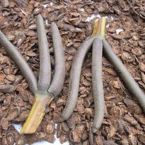 Hoa thốt nốt giải chất độc trong một số trường hợp ngộ độc do bị mã tiền, vàng da.