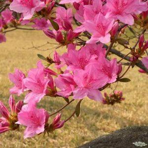Hoa đỗ quyên trị mụn nhọt sưng lở, ngoại thương xuất huyết, mề đay.