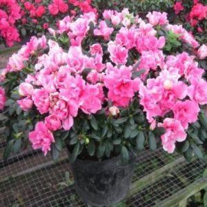 Hoa đỗ quyên trị phong thấp sưng đau, trĩ xuất huyết, đòn ngã tổn thương.