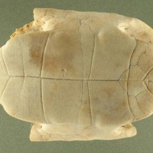 Mai rùa trị cốt chưng, lao nhiệt, sốt về chiều và mồ hôi trộm.