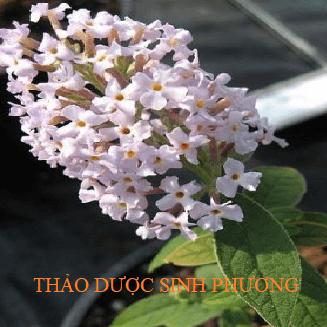 Cây mật mông hoa