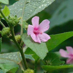 Ké hoa đào điều tri đau nhức xương khớp, phong tê thấp và rắn độc cắn