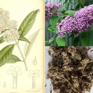 Cây mật mông hoa có tác dụng chữa thong manh, mắt sưng đỏ, chảy nước mắt, có tia đỏ trong mắt
